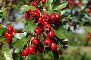 hawthorn and heart disease