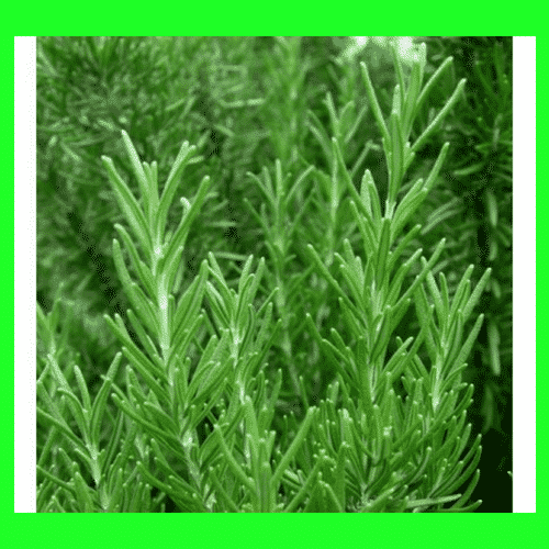Rosemary Oil Improves Low Blood Pressure